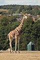Giraffe (6164671800).jpg