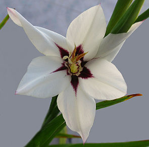 Gladiolus callianthus (1345579492).jpg