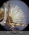 Gnaphalium sylvaticum sl24.jpg