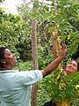 Gooseberry tree (Phyllanthus acidus).jpg