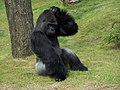 Gorilla Scratching Head.jpg