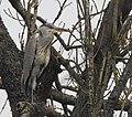 Gråhäger Grey Heron (31079210224).jpg