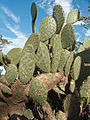 Graffiti on prickly pear cactus.jpg