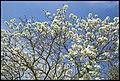 Grafton White Jacaranda-11 (22957153342).jpg