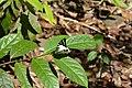 Graphium antiphates naira Moore, 1903 – Sahyadri Five-bar Swordtail at Kannavam RF (55).jpg