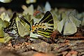 Graphium antiphates naira Moore, 1903 – Sahyadri Five-bar Swordtail at Kannavam RF (6).jpg