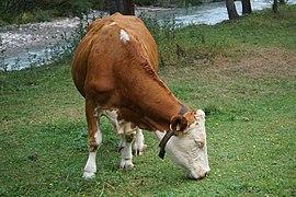 Grasende Kuh auf einer Weide bei St. Jakob in Defereggen 22082019 002.jpg