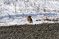 Grasshopper Sparrow (Ammodramus savannarum) (16231367436).jpg