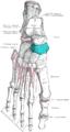 Gray268 - Navicular bone.png