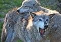 Gray wolf pair (6862200695).jpg
