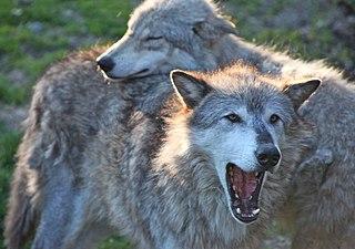 Wolf communication