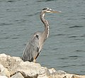 Great Blue Heron Desoto.jpg