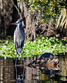 Great Blue Heron and Yellow-bellied Slider Turtle.jpg