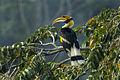 Great Hornbill - Thailand H8O4713 (16220850928).jpg