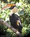 Great Hornbill Buceros bicornis (Linnaeus, 1758) (16167523410).jpg