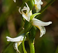 Great Plains Lady's Tresses (Spiranthes magnicamporum) (19708196576).jpg