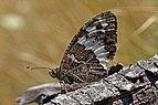 Great banded grayling (Brintesia circe) Macedonia.jpg