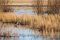 Great blue heron (40179932482).jpg