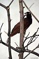 Greater Bird of Paradise (Female - Paradisaea apoda).jpg