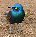 Greater Blue-eared Starling (Lamprotornis chalybaeus) (33227998891).jpg