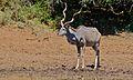 Greater Kudu (Tragelaphus strepsiceros) (6611680005).jpg