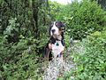 Greater Swiss Mountain Dog 4 months old.jpg