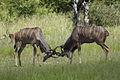 Greater kudu, Tragelaphus strepsicerosm - bulls locking horns in Kruger Park (13650529744).jpg