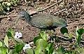 Green Ibis (Mesembrinibis cayennensis) (28313241095).jpg