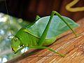 Green Katydid (Tettigoniidae) (8294799540).jpg
