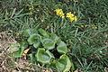 Green leopard plant (Farfugium japonicum) (22683943931).jpg