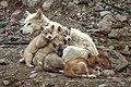 Greenland Dog 02(js), Ittoqqortoormiit (Greenland).jpg
