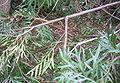 Grevillea superb branch.jpg