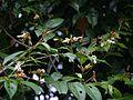 Grewia umbellifera Bedd. (22441143600).jpg