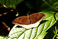 Grey Count Tanaecia lepidea by Dr. Raju Kasambe DSCN2745 (9).JPG