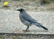 dark grey crow-like bird walking on pebbled path