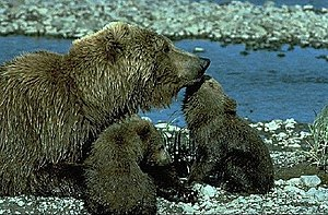 McNeil River - Mother brown bear with her cubs near the McNeil River