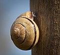 Grove snail (51151497227).jpg