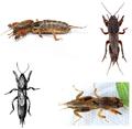 Gryllotalpidae (Mole cricket).png