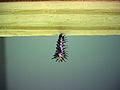 Gulf Fritillary Caterpillar Paynes Prairie.jpg