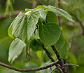 Gyrocarpus americanus in Keesaraguda, AP W IMG 9141.jpg