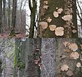 Habitat of Ischnoderma resinosum (GB= Late fall polypore or Resinous polypore, D= Laubholz harzporling, F= Polypore radié ou Polypore resineux, NL= not officialy (Hars)Vlekkenzwam) whitte spores and causes whitte rot a - panoramio.jpg