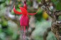 Hanging Fucsia (4695429005).jpg