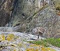 Havstrut Great Black-backed Gull (14540951213).jpg