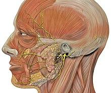 Невриты и невропатии лицевого нерва.