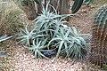 Hechtia marnier-lapostollei - Brooklyn Botanic Garden - Brooklyn, NY - DSC08077.JPG
