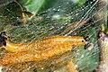 Hedya.nubiferana.caterpillar.jpg