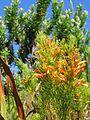 Helderberg Nature Reserve - Fynbos 4.JPG