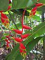 Heliconia rostrata11.jpg