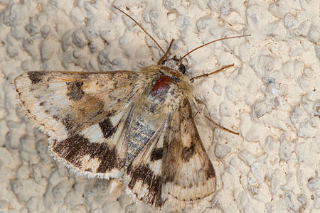 Heliothis viriplaca, Lodz(Poland)01(js).jpg