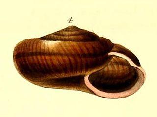 species of mollusc